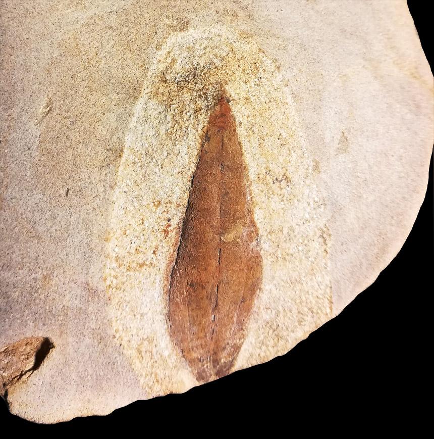 Blattfossil