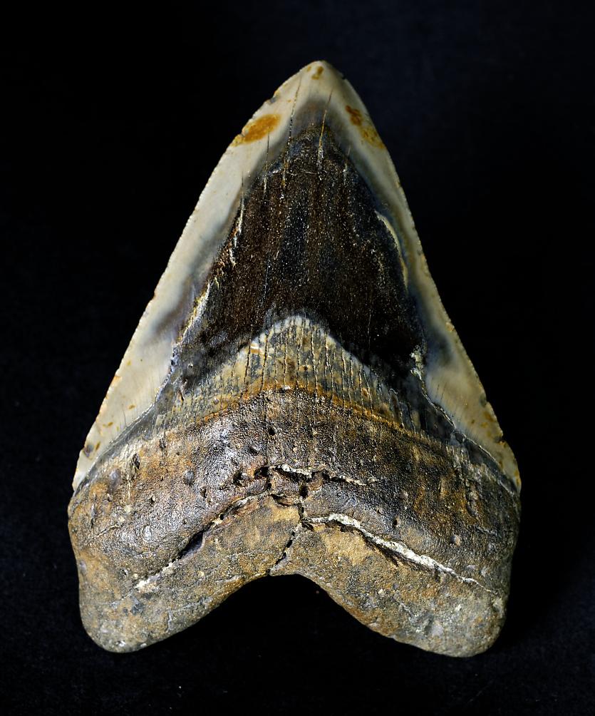 Carcharocles megalodon, South Carolina