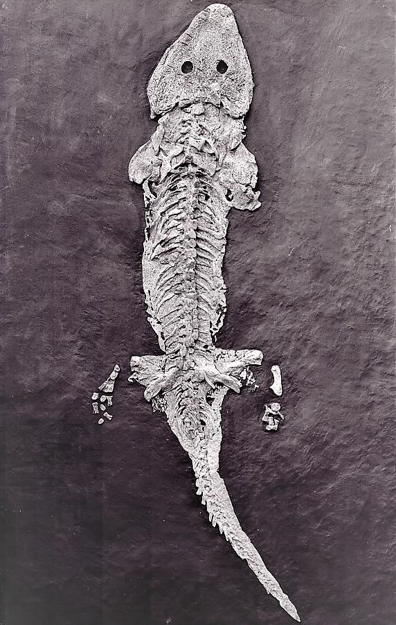 Sclerocephalus cf. haeuseri