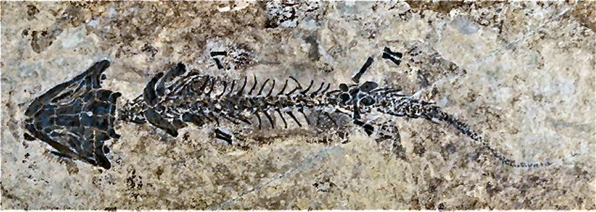 Discosauriscus pulcherrismus FRITSCH, 1879