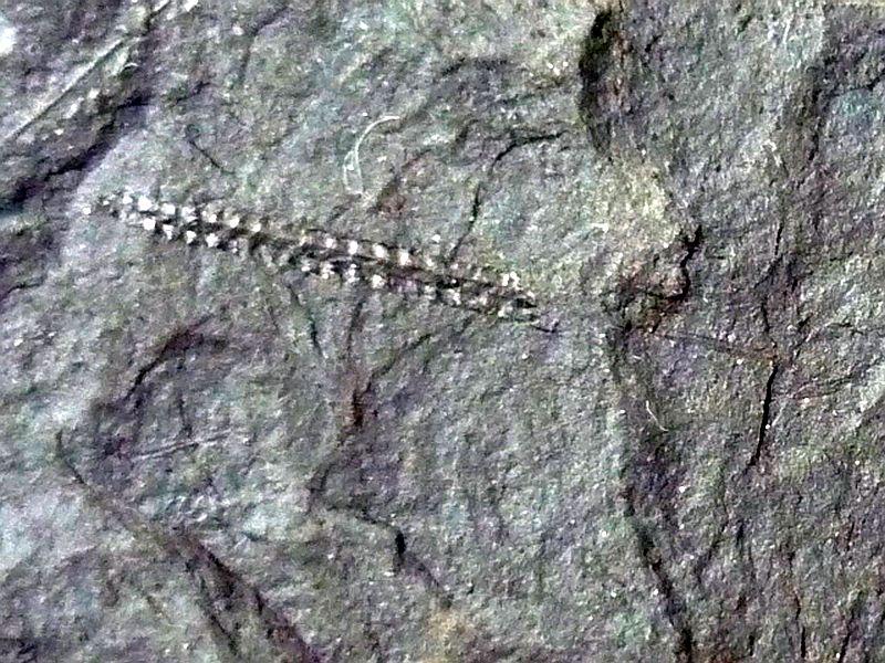 Diplograptus sp.