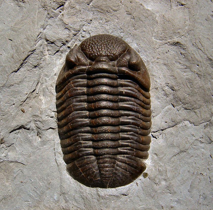 Phacops rana milleri STEWART, 1927