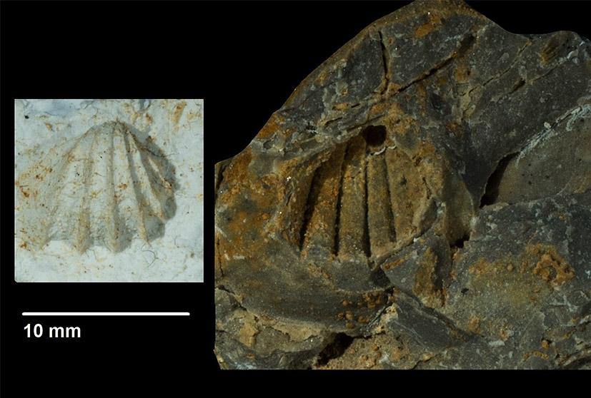Costatoris curvirostris von SCHLOTHEIM 1820