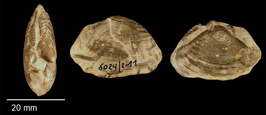 Homomya fassaensis WISSMANN 1841