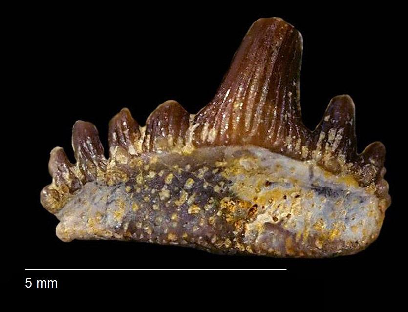 Parhybodus plicatilis AGASSIZ 1843