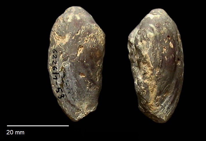 Pleuromya elongata von SCHLOTHEIM 1820