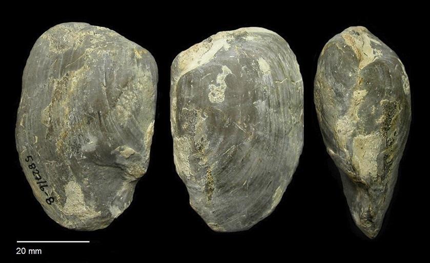 Pleuromya grandis von MÜNSTER 1841