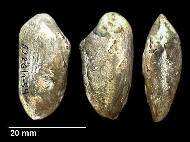 Pleuromya mactroides von SCHLOTHEIM 1820