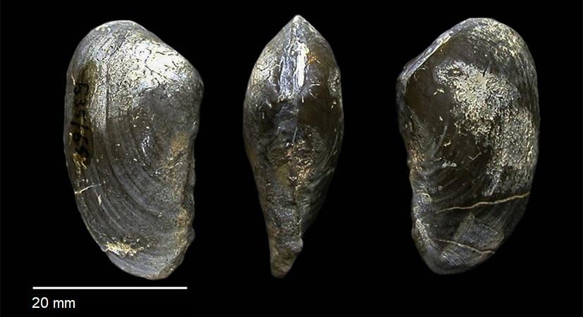 Pleuromya musculoides von SCHLOTHEIM 1820
