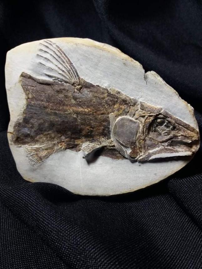 unbestimmter Coelacanth
