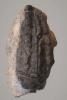 Cupressocrinites crassus (GOLDFUSS, 1831)