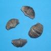 Arduspirifer sp.