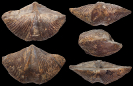 Brachiopode Chimaerothyris hotzi STRUVE, 1963