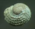 Gastropode Plagiothyra purpurea (ARCHIAC & VERNEUI