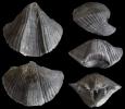 Brachiopode Cyrtospirifer verneuiliformis (PAEKELMANN 1942)