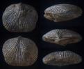 Brachiopode Aulacella aggeris MOTTEQUIN, 2008
