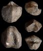 Brachiopode Cyrtospirifer aff. brodi (VENYUKOV, 1886)