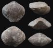 Brachiopode Athyris murchinsoni (BRICE, 1988)