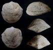 Brachiopode Desquamatia (Seratrypa) pectinata COPPER 1967