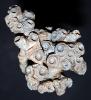 Koralle, Rugose Korallenkolonie, Hexagonaria sp.