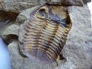 Morocops (Lahnops) steinmeyeri