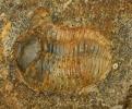 Phacops sp.