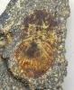 Scabriscutellum heidelbergerorum (Basse)