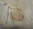 Trilobit Kettneraspis sp.