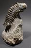 Crotalocephalina gibbus