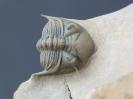 Metacanthina issoumourensis (Morzadec, 2001)