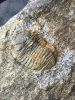 03 - Fossil des Monats März 2015