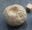 Astylospongia preamorsa (Goldfuss 1826, Roemer 1860)