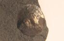 Broeggeria salteri ( Holl, 1865)