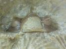 Acastella sp.