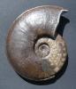 Dorsetensia liostraca Buckman