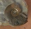 Dorsetensia sp.