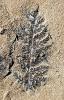 Coniopteris angustiloba