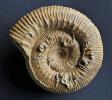 Stephanoceras cf. zieteni