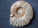Ataxioceras (Parataxioceras) cf. pseudoeffrenatum