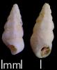 Boreomica costaspiralis (Gründel, Keupp & Lang,2019)