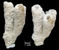 Cylindrophyma milleporata
