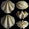 Brachiopode Ismenia pectunculoides (SCHLOTHEIM 1820)