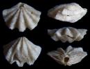 Brachiopode Ismenia recta (QUENSTEDT 1858)