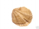 Dictyothyris trimedia