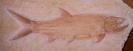 Amblysemius bellicanus (THIOLLIERE 1852)