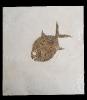 Gyrodus hexagonus (BLAINVILLE 1818)