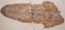 Trachiteuthis hastiformis