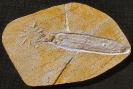 Plesioteuthis prisca, RUEPPEL 1829