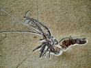 Aeger spinipes DESMAREST, 1812