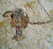 Knebelia bilobata MUENSTER, 1839